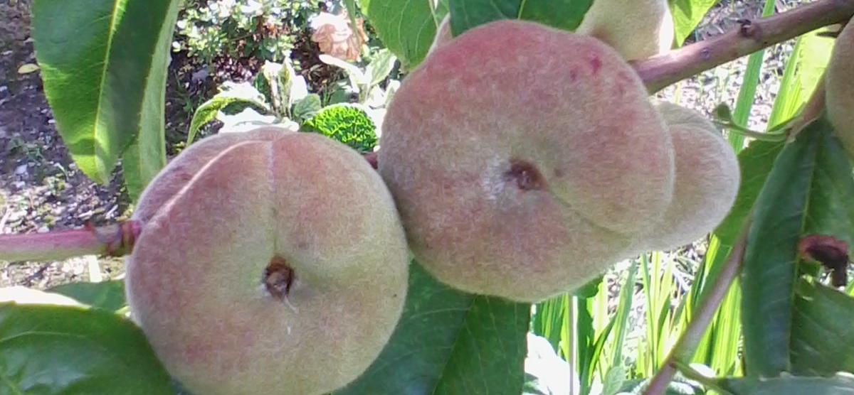 Alberi da frutto agrinextal for Piccoli alberi da frutto